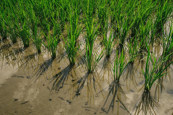 田んぼに植えられた稲